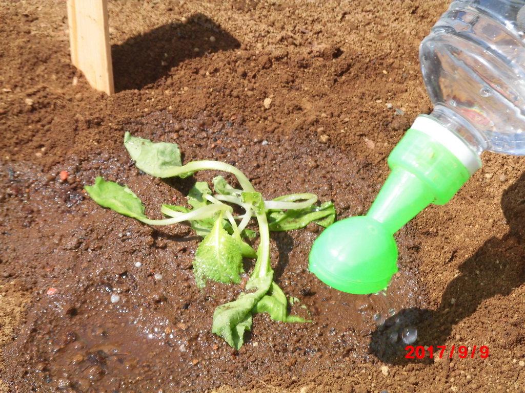 白菜の定植と水遣り