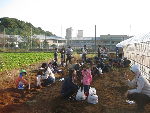 サツマイモ収穫全景