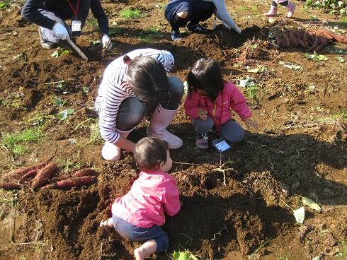 17年度サツマイモ作り教室収穫赤ちゃんも
