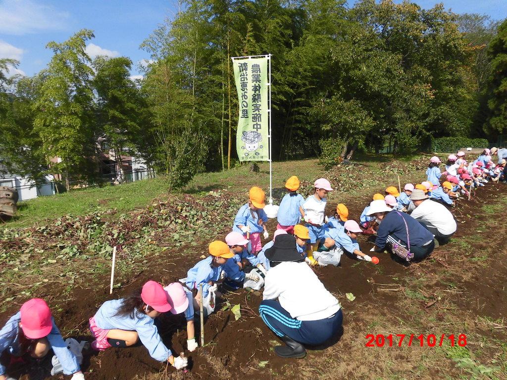 サツマイモ掘り1